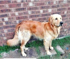 Father of the Golden Retriever puppies born on 12/09/2020
