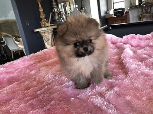 Pomeranian Puppy For Sale in JAMUL, CA, USA