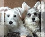 Country Charmers Miniature Schnauzers