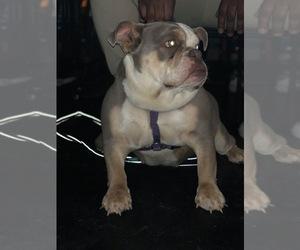 Mother of the English Bulldog puppies born on 04/15/2020