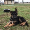German Shepherd Dog Puppy For Sale in NEW BRAUNFELS, TX, USA