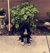 Great Dane Puppy For Sale in MONTEBELLO, CA, USA