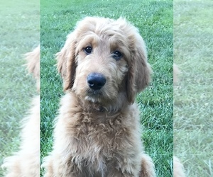 Goldendoodle Puppy for sale in HARRISONBURG, VA, USA