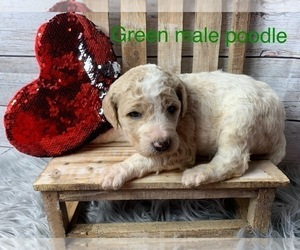 Poodle (Standard) Puppy for Sale in FREDERICKTOWN, Missouri USA