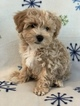 Coton de Tulear-Poodle (Toy) Mix Puppy For Sale in MIDDLEBURY, IN, USA
