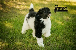 Poodle (Standard) Dog for Adoption in SAINT CLOUD, Minnesota USA