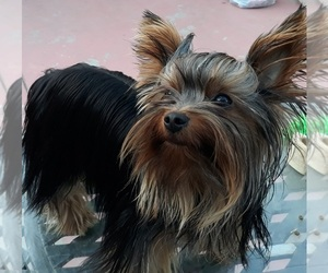 Yorkshire Terrier Dog for Adoption in OAKLAND, California USA