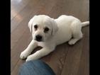 Labrador Retriever Puppy For Sale in TOMS RIVER, NJ
