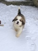 Great Bernese Puppy For Sale in ROACHDALE, IN, USA