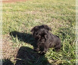 Brussels Griffon Puppy for sale in CASSVILLE, MO, USA