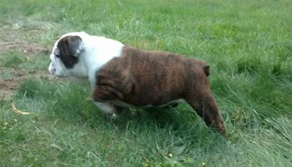 Bulldog Puppy for sale in MIDDLE GROVE, NY, USA