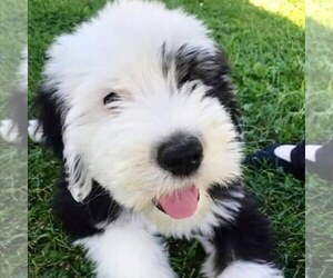 Sheepadoodle Puppy for Sale in AVILLA, Indiana USA