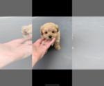 Puppy 0 Maltipoo