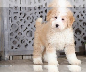 Miniature Bernedoodle Puppy for sale in MOUNT VERNON, OH, USA