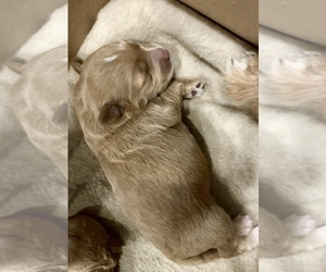 Goldendoodle (Miniature) Puppy for sale in MOUNT PLEASANT, SC, USA