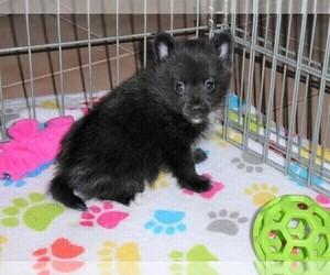 Pomeranian Puppy for Sale in ORO VALLEY, Arizona USA