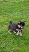 Pomeranian-Siberian Husky Mix Puppy For Sale in DUNDEE, OH