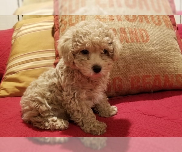 Medium Photo #1 Poodle (Miniature) Puppy For Sale in EMPORIA, KS, USA