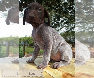 German Shorthaired Pointer Puppy for sale in ELBERTA, AL, USA
