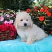 Cantel Puppy For Sale in GAP, PA, USA