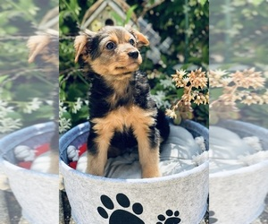 Yorkshire Terrier Mix Puppy for Sale in LOS ANGELES, California USA