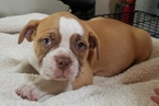 Olde English Bulldogge Puppy For Sale in PINEVILLE, Louisiana,