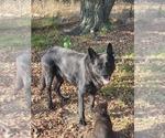 Small #9 German Shepherd Dog