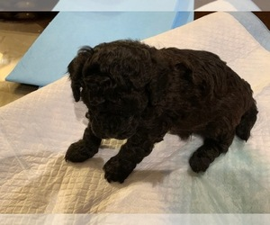 Poodle (Standard) Puppy for sale in CENTERVILLE BRANCH, GA, USA