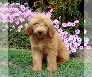 Goldendoodle Puppy for sale in AIRVILLE, PA, USA