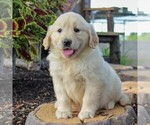 Small #4 English Cream Golden Retriever