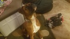 Boxer Puppy For Sale in WEST VALLEY, NY