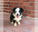 Miniature Australian Shepherd Puppy For Sale in WICHITA FALLS, TX, USA
