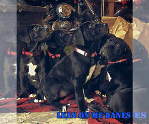 Great Dane Puppy for sale in YELLVILLE, AR, USA