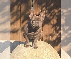 Mother of the French Bulldog puppies born on 06/29/2021