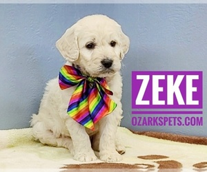 Goldendoodle Puppy for sale in CEDAR GAP, MO, USA