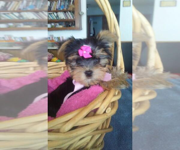 Yorkshire Terrier PUPPY FOR SALE ADN-167001