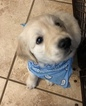 Golden Retriever Puppy For Sale in MACON, GA, USA