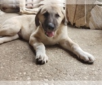 Puppy 8 Anatolian Shepherd-Maremma Sheepdog Mix