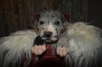 Great Dane Puppy For Sale in CEDAR HILL, TN,