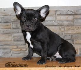 French Bulldog Puppy For Sale in CHANDLER, AZ, USA