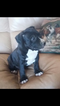 American Staffordshire Terrier Puppy For Sale in ANZA, CA, USA