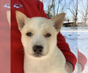 Siberian Husky Puppy for Sale in TIMPSON, Texas USA