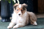 Sheltie Puppy for Sale