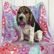 Beagle Puppy For Sale in EAST EARL, PA, USA