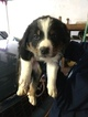 Bordernese Puppy For Sale in SUNMAN, IN, USA