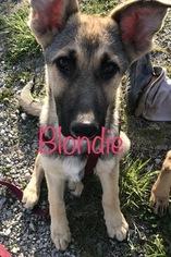 German Shepherd Dog Puppy for sale in FARMINGTON, MO, USA