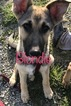 German Shepherd Dog Puppy For Sale in FARMINGTON, MO
