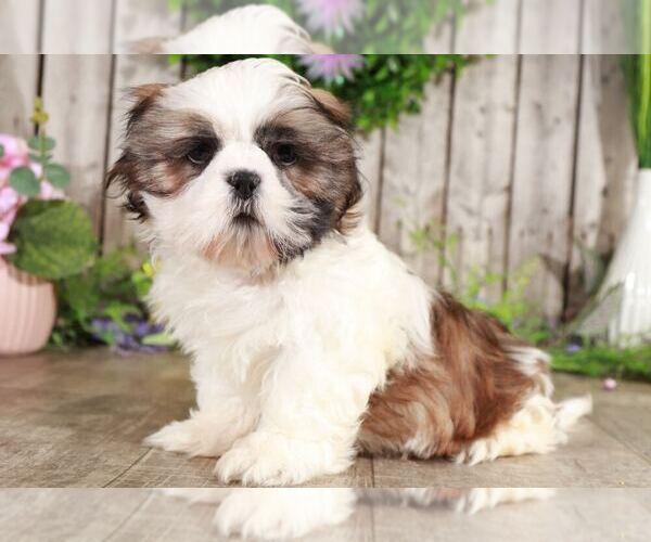 Medium Photo #1 Shih Tzu Puppy For Sale in MOUNT VERNON, OH, USA