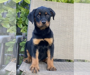 Rottweiler Puppy for sale in MIAMI, FL, USA