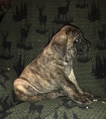 Mastiff Puppy For Sale in MASURY, OH, USA